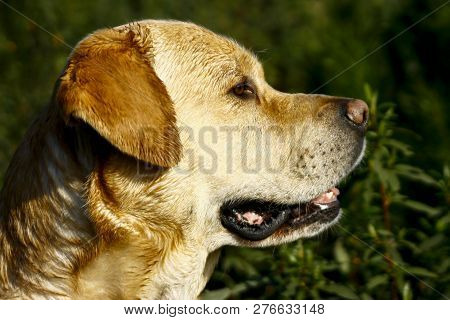 Yellow Labrador Portrait With Head Facing Sideways