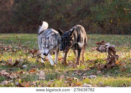 Siberian Husky And German Shepherd