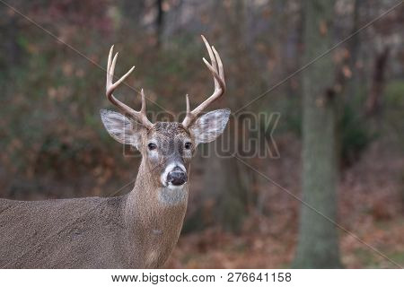 White-tailed Deer Buck Along The Edge Of The Woods