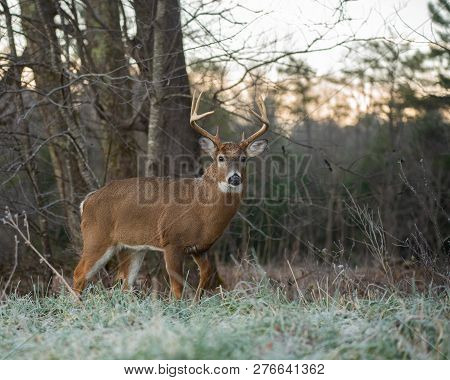 Large White-tailed Deer Buck On The Edge Of The Woods On A Frosty Morning  In Smoky Mountains Nation