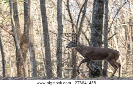 Large White-tailed Deer Buck Running Through The Woods During The Rut