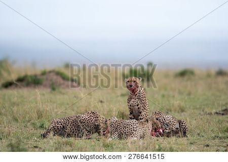 Cheetahs Feeding At Kill Site