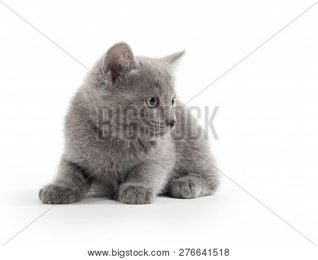 Cute Baby Gray Kitten Sitting Isolated On White Background