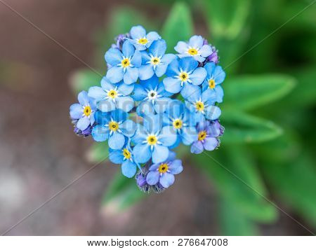 Blue Flowers Of The Mountain Forget-me-not In The Mountains At An Altitude Of 2500 M. Lat. Myosotis