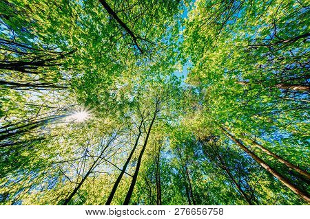 Spring Summer Sun Shining Through Canopy Of Tall Trees. Sunlight In Deciduous Forest, Summer Nature.