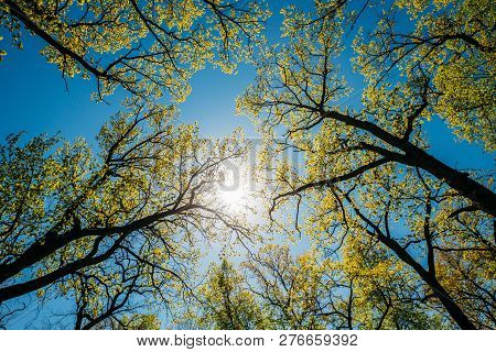 Sun Shining Through Canopy Of Tall Trees With Young Spring Folliage Leaves. Sunlight In Deciduous Fo
