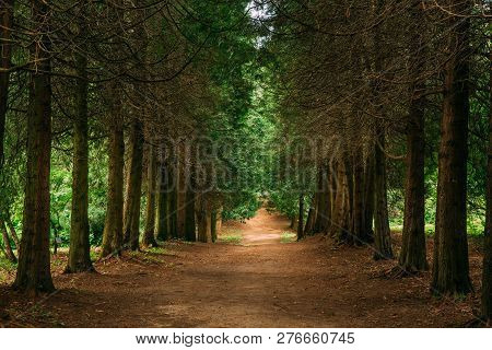 Walkway Lane Path Through Green Thuja Coniferous Trees In Forest. Beautiful Alley, Road In Park. Pat
