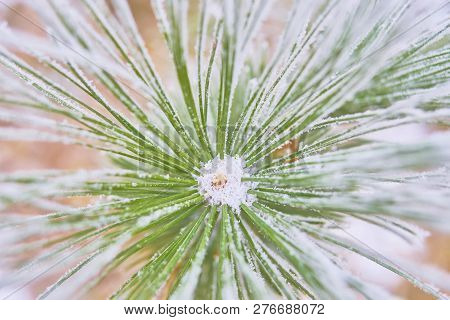 Coniferous Branches Covered With Hoarfrost. Branch Of Spruce Tree With White Snow. Winter Fir Tree I