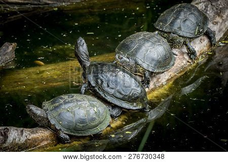 Closeup Of Four European Pond Turtles Sunbathing On A Piece Of Wood In A Pond