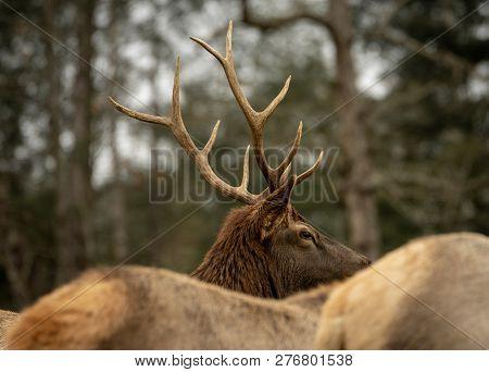 Bull Elk Wapiti