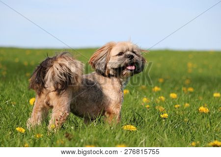 Beautiful Lhasa Apso Is Standing In The Garden With Dandelions