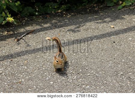 The Small Red Chipmunk Looking A Food