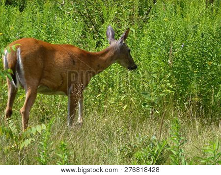 The Big Red Deer In The Forest