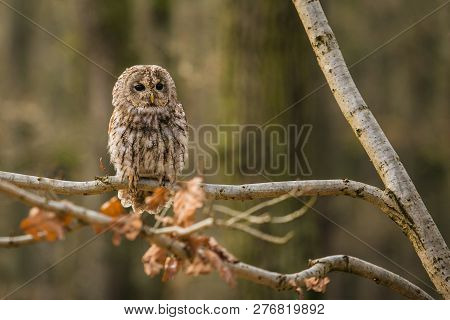 Portrait of tawny owl, Strix aluco, with dark black eyes and white and brown feathers sitting on branch in the forest with dry leaves on the branch, blurry background poster