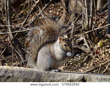 The Grey Squirrel Sitting On The Stone And Eating