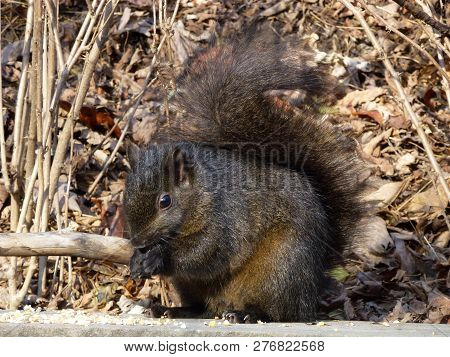 The Black Squirrel Sitting On The Branch