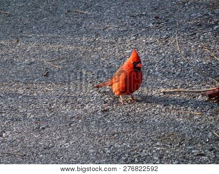 The Red Bird Cardinal Sitting On Road