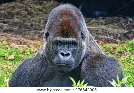 Portrait Of A Dominant Male Gorilla. Big Adult Ape Sits In A Grass And Looks In A Distance. African