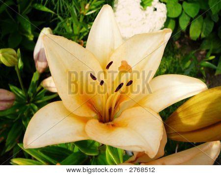 Cream Lily