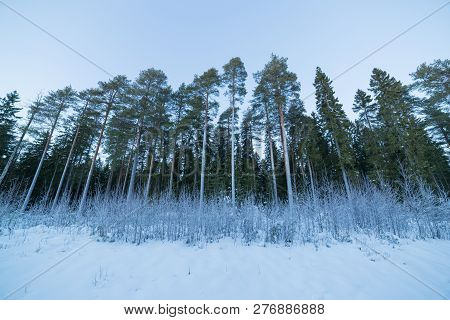 Trees In Winter With Snow And Sky.
