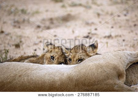 Two Lion Cubs Feeding, One Looking Up Into The Camera. Balule Nature Reserve, Kruger Park, South Afr