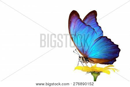 Beautiful Blue Morpho Butterfly On A Flower On A White Background. Copy Spaces.