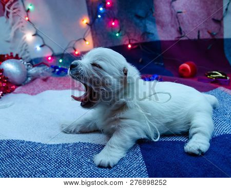 West Highland White Terrier Puppies.  Dog On A Checkered Color Background. Puppy Playing With Christ