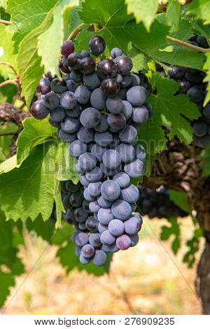 French Red And Rose Wine Grapes Plant, First New Harvest Of Wine Grape In France, Costieres De Nimes
