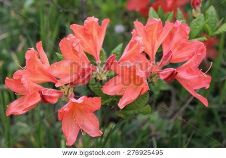 Big Coral Azalea Or Rhododendron In A Organic Garden. Season Of Flowering Azaleas . Azaleas Are Shad