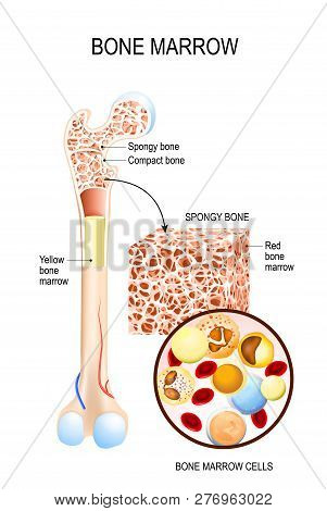 Bone Marrow (Yellow, Red) and blood cells (erythrocyte, lymphocyte, monocyte, esinophil, basophil, neurophil). Vector diagram for your design, educational, biological, science and medical use poster
