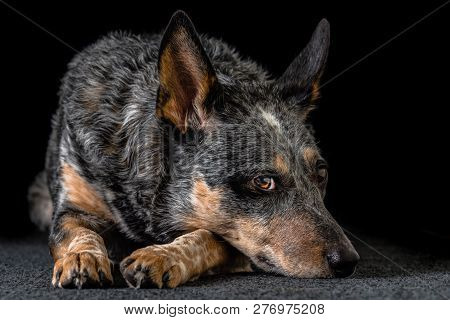 Studio Portrait Of A Beautiful Tri-coloured Blue Heeler Dog