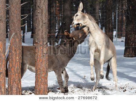 Wild donkeys biting