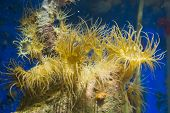 group of tube dwelling sea anemones on a rock, popular aquarium pets in aquaculture poster