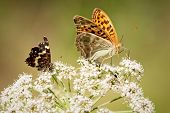 Close up of two butterflies, red smaller and bigger orange butterfly, standing on the white flower of elderberry that is growing on the meadow. poster