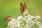Close up of two butterflies, red smaller and bigger orange butterfly, standing on the white flower that is growing on the meadow. poster