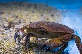 closeup of a brown crab, a robust crustacean from the northern sea poster