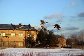 Flock of geese flying over snow towards sunset poster