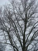 Bare winter oak tree with snow on a cloudy day poster
