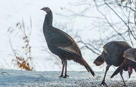 Eastern Wild Turkey (meleagris Gallopavo Silvestris) Hen In A Winter Woodland Yard.