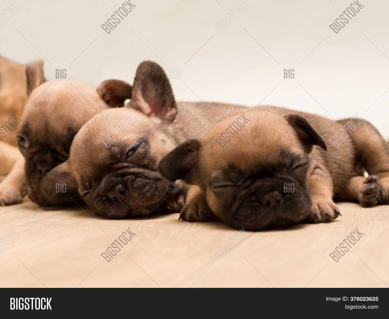 Sleepy French Bulldog Image Photo Free Trial Bigstock