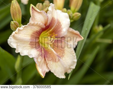 Closeup Of A Large Pink Hemerocallis Daylily, Variety Janice Brown, Flowering In A Garden