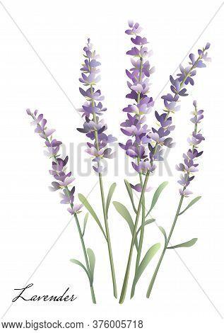 Sprigs Of Lavender. Watercolor Bouquet Of Lavender.