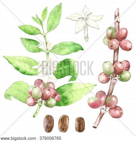 Collection Of Watercolor Coffea Arabica Plant. Hand Drawn Botanical Illustration Of Coffee Plant, Fl
