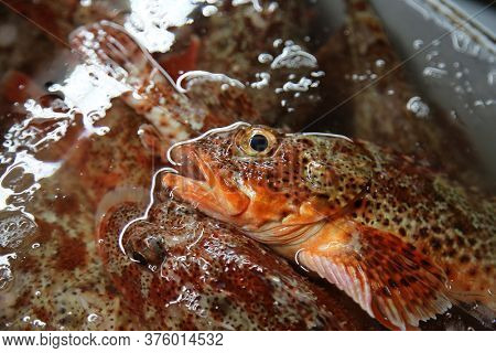 Fresh Fish. Sculpin aka Scorpion fish at a Fisherman's Market. Fresh Caught for sale. Also known as Rock fish and Stone fish.