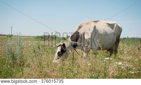 A White Cow Runs Through A Summer Meadow. Swiss White Cow Resting In A Meadow. Cow Passes In The Mea