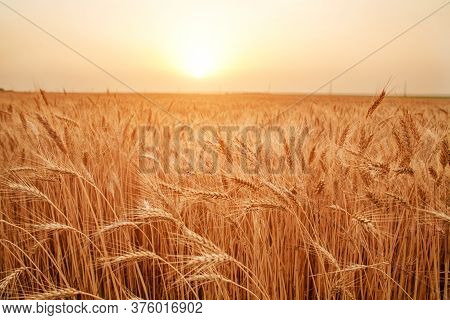Closeup Field Of Golden Yellow Ripe Growing Ears Of Wheat, On Sunset Sky Background