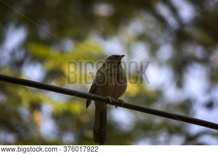 Jungle Babbler A Species Of Laughing Thrushes Also Known As Seven Sisters In Northern India