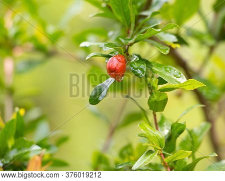 Pomegranate Tree In Flower Bud, Growing Pomegranate Tree At Home Concept