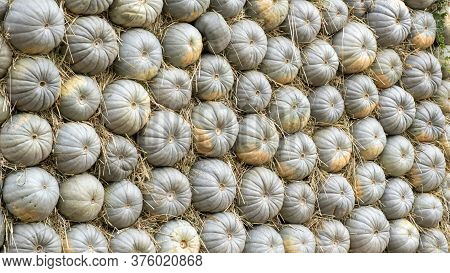 Lots Of Colorful Pumpkins Laid Out In The Row. Coloured Pumpkins As Background. Background Of Grey P