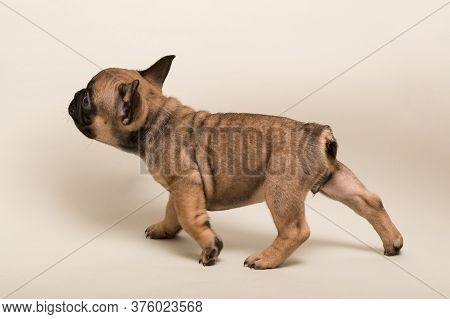 Adorable French Bulldog Puppy Beige Color. Cute Little Puppy.